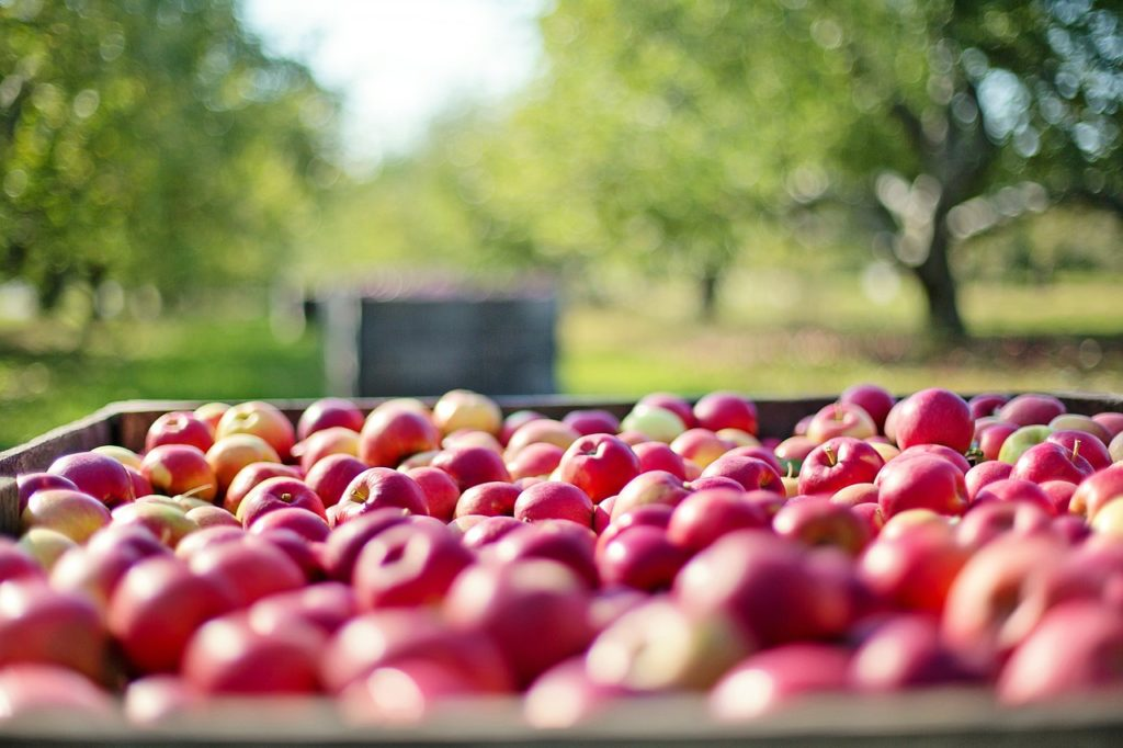 A wagon full of freshly picked apples on a farm.