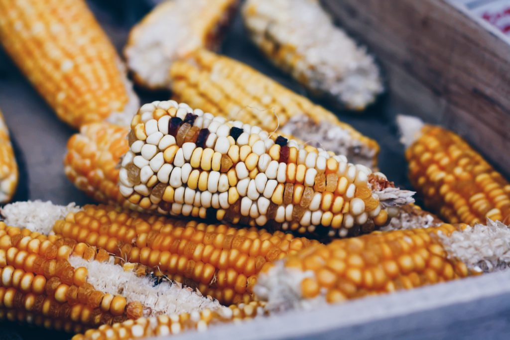 Ears of heirloom traditional corn in a box.