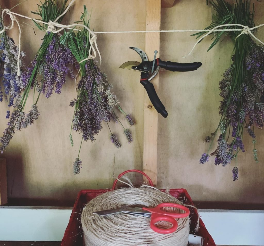 Lavender plants gathered in bunches and hung to dry for cooking.