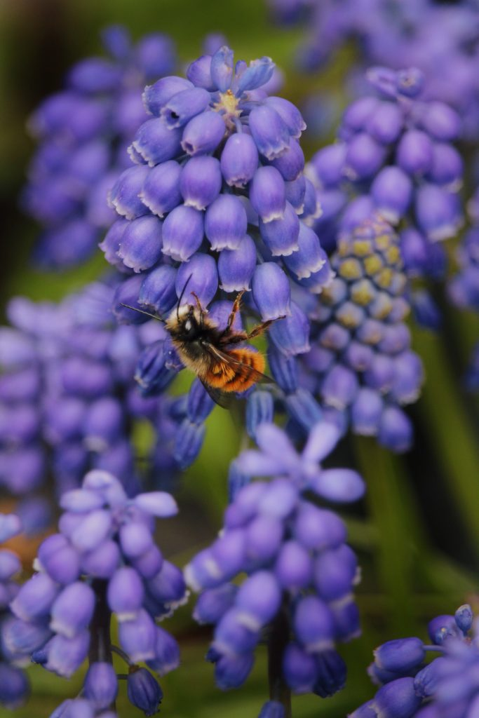 A honey bee crawling on a lavender plant.