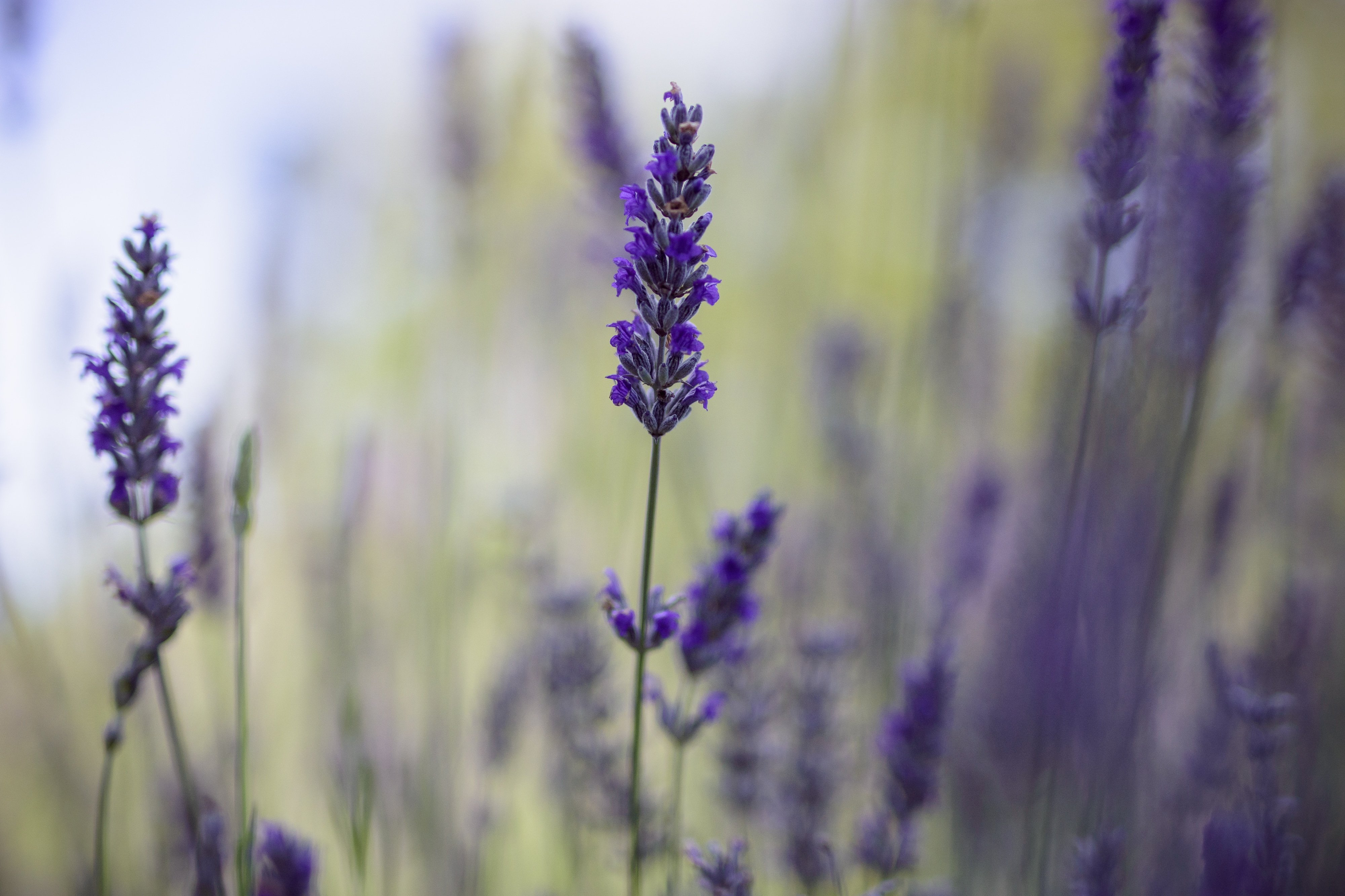 A close up of a stem of lavender with the rest of the plant blurred behind it.